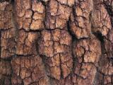 Western white pine bark in Yosemite