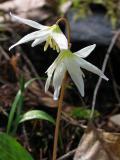 Trout lilies (Erythronium revoltum)