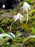 Trout lily (Erythronium revoltum)