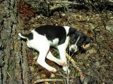 Kelly the hiking dog at 8 weeks
