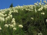 Beargrass splendor