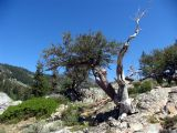 Mountain Mahogany near Mills Creek Lake