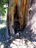 Cupboard built into the hollow of a foxtail pine