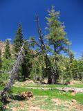 Cupboard tree in the Alps near Bob's tarn