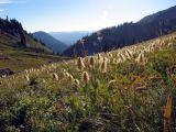 A field of furry flower heads