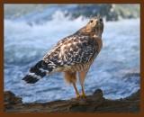 hawk-red-shouldered 1-19-09 4d438b.JPG
