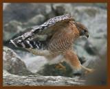 hawk-red-shouldered 1-22-09 4d515b.JPG