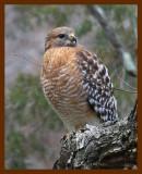 hawk-red-shouldered 1-22-09 4d539b.JPG
