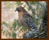 hawk-red-shouldered 1-19-09 4d354b.JPG