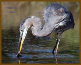 great blue heron-9-10-12-888b.JPG
