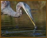 great blue heron-9-10-12-849b.JPG