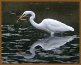 great egret-9-16-12-723b.JPG