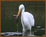 great egret-9-16-12-714b.JPG