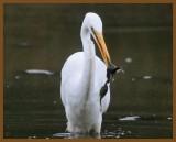 great egret-9-16-12-716b.JPG