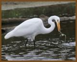 great egret-9-16-12-705b.JPG