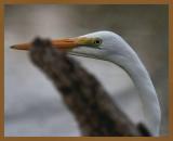 great egret-10-13-12-546b.JPG