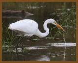 great egret-10-13-12-557b.JPG