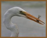 great egret-10-13-12-549b.JPG
