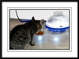 Maya - eating at her Catit Drinking Fountain