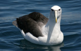 New Zealand Seabirds 2007; Extended version; Mollymawks