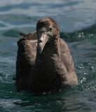 New Zealand  Seabirds 2007, extended version; Southern and Northern Giant petrel