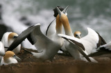 New Zealand seabirds 2007, extended version: Australasian Gannet and White-faced Storm Petrel