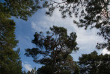 29th May 2009  Scots pine