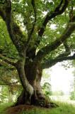 14th June 2009  dule tree