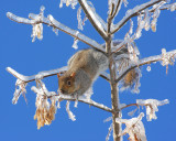 Squirrel on icy tree