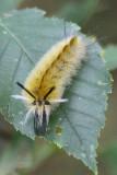 Banded Tussock Moth caterpillar - yellow.jpg