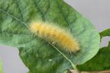 Yellow Bear caterpillar