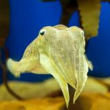 Beautiful Cephalopod