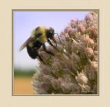 Bee On Garlic