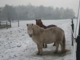 069 - Groenekan: pony's kunnen wel tegen een beetje kou