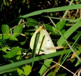 white form female Sulphur species