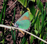 Bramble Hairstreak