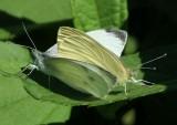 Cabbage White