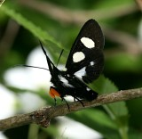 Eight-spotted Forester, Alypia octomaculata