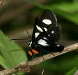 Eight-spotted Forester, Alypia ocotmaculata