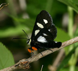 9314, Alypia octomaculata, Eight-spotted Forester