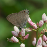 Gold Hunter's Hairstreak