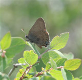 Hedgerow Hairstreak