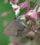 Hickory Hairstreak ?