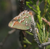 Juniper Hairstreak