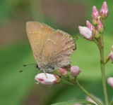 Nelson's Hairstreak