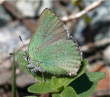 Sheridan's Hairstreak