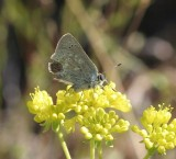 Sooty Hairstreak