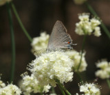 Sylvan Hairstreak