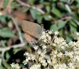 Thicket Hairstreak