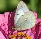 white form Sulphur species
